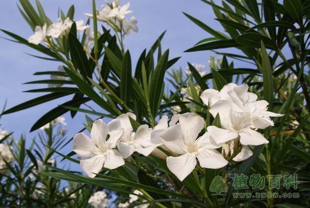 白花夹竹桃