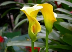 两枝黄色马蹄莲