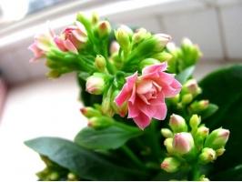 长寿花花期:冬春季开花
