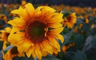 观赏向日葵种子:7~8月观赏最佳