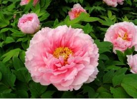 牡丹花什么时候开:最佳观赏时间4月15日至4月30日