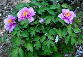 牡丹花的种植:坑要适当不可过深