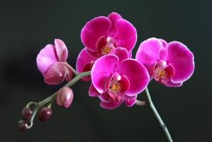蝴蝶兰花语:各色花语