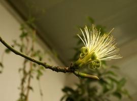 恬淡素雅的发财树花