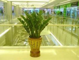 金钱树的作用:调节湿度,释放氧气