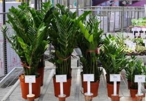 金钱树价格:种子一般0.2~0.5元每粒