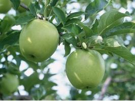 青苹果怎么养:浸根消毒保证成活