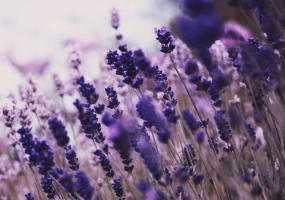 薰衣草的功效与作用:改善呼吸系统