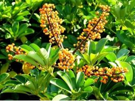 鸭掌木有毒吗:无毒且能净化尼古丁