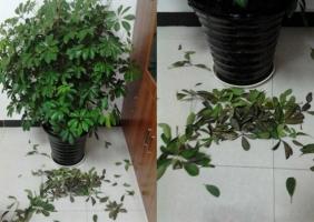 鸭掌木掉叶子:原因及解决方法
