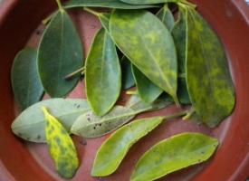 鸭掌木叶子发黄:原因及解决方法