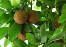 人心果种植:11~31℃可正常开花结果
