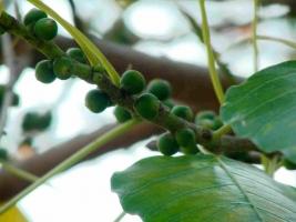 菩提树种子:三十多个品种附图