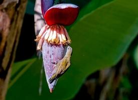 芭蕉花:食用方法和功效