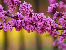 紫荆花花语