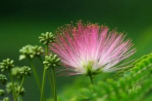 合欢花的功效与作用:舒郁,理气,安神,活络