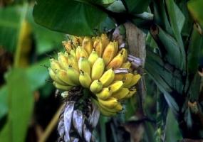孕妇能吃芭蕉吗:未熟透或催熟的不吃,空腹不吃