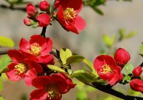 海棠品种:多种分类法介绍,附图