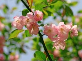 有神仙花美誉的海棠