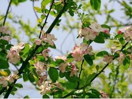 树上开满了海棠花