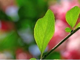 海棠树的叶子