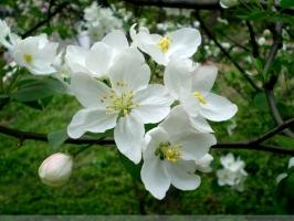 恬淡素雅的海棠花