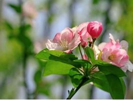 阳光下的海棠花
