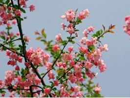 蓝天下的海棠花