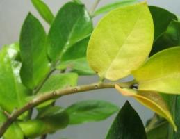 金钱树叶子发黄怎么办:病因和解决办法