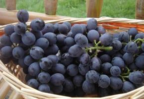 如何选葡萄:要挑肉韧,汁多的