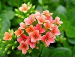 长寿花的作用:用于观赏,净化空气