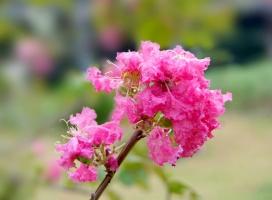 夏天有什么花开放:紫薇荷花合欢等等,有图