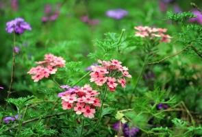 秋天开的花有哪些:有详细介绍并附图