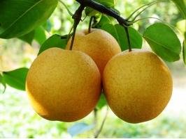 秋天的水果有哪些:包括种类和功效介绍,有图