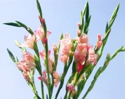 种植球根类植物为何要施足基肥