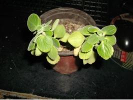 盆土缺肥,植株生长有何不良现象:矮小细弱,叶片不正常