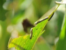 黏虫怎样防治