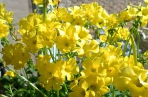 黄花酢浆草在什么条件下才能开好花