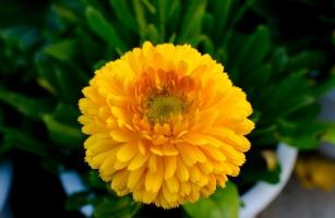 金盏菊种植