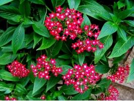 五星花种植:五星花的种植方法