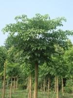 """""""幸福树""""是指哪种植物"""