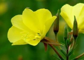 什么叫花卉的春化作用