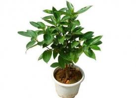 平安树是什么植物