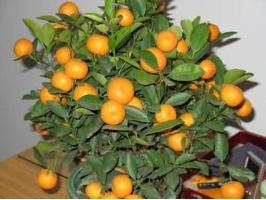 常见阳台盆橘有哪些品种