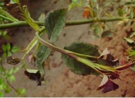 常见的花卉生理性病害有哪些?怎样防治?