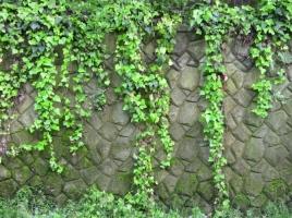 常春藤能爬墙吗