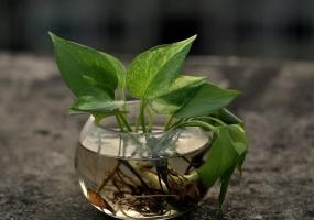 为什么现代室内观赏植物大都以观叶植物为主