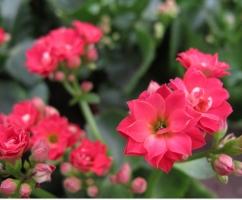 如何繁殖长寿花