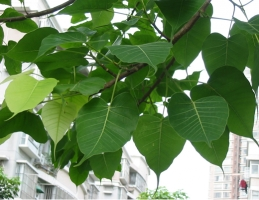 how 繁殖和养护菩提树