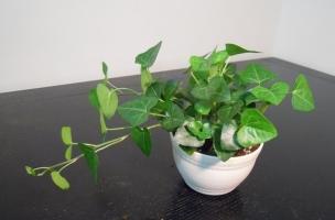 如何使盆栽植物保持袖珍型不变